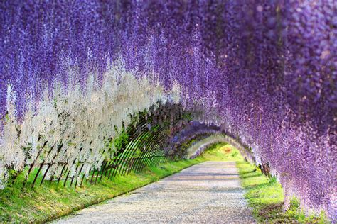 flower tunnel wisteria flower tunnel japan 83 places you