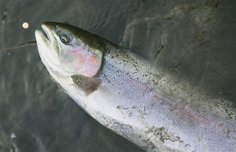 bead fishing for steelhead saugeen river conditions update canadian sportfishing