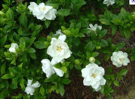 Gardenia Bush Gardenia Tree Sales For Ta Brandon Riverview Apollo