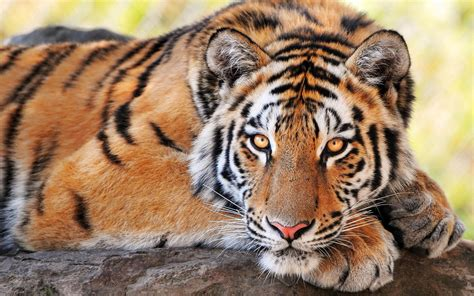 of tiger tiger wallpapers hd free