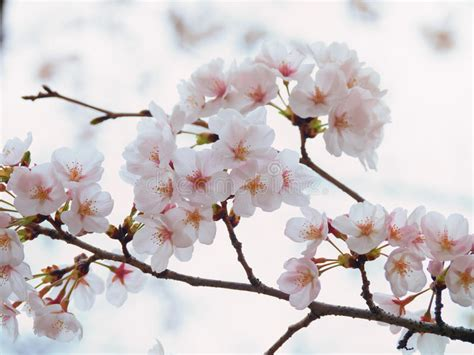 cherry tree b b ballyconnell yoshino cherry tree branch in bloom in the sky background stock image image of background