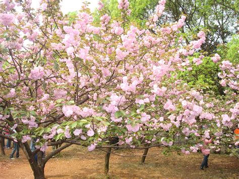 japanese flowering cherry tree seeds prunus serrulata zhong wei horticultural products company