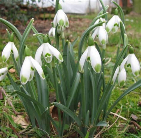 Pottertons Nursery   Galanthus nivalis 'Viridapice'