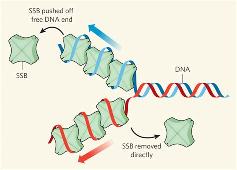 dna binding dna binding proteins dna helix destabilizing proteins