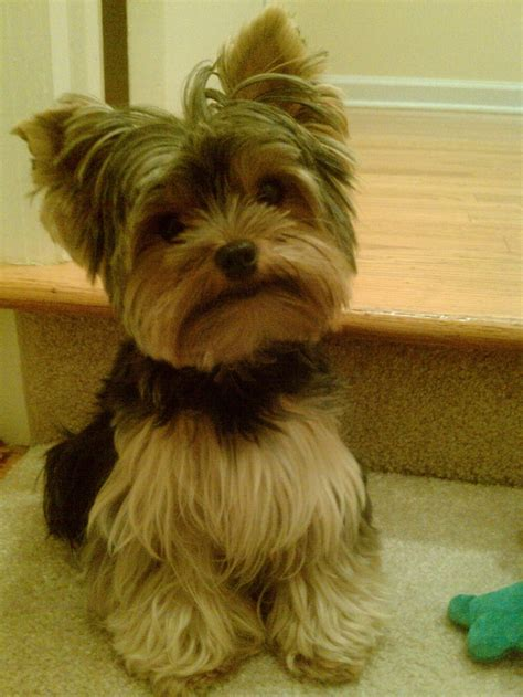how to cut yorkie hair at home yorkie haircuts pictures summer cuts dog breeds picture