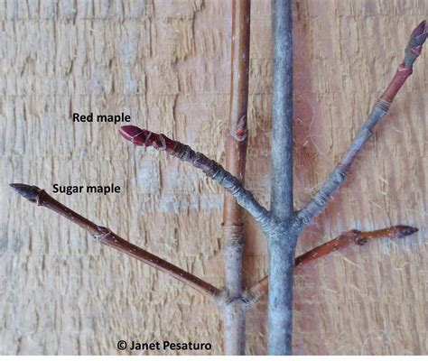 maple tree identification pictures how to make maple syrup i choosing trees and getting sap
