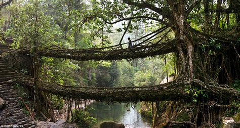 living bridges meghalaya villagers create living bridges by