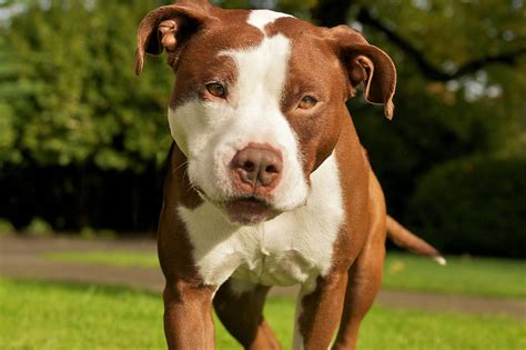 brown pit 50 most beautiful pit bull pictures and photos