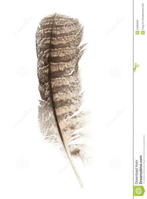 barred owl feather royalty free stock photo image 34903945