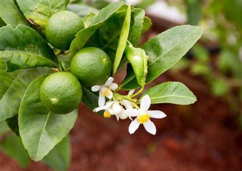 lime tree lime tree and fruit citrus genus britannica