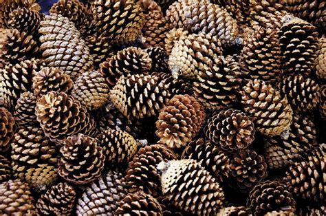 with pine cones times of the islands dreams of pine cones aplenty