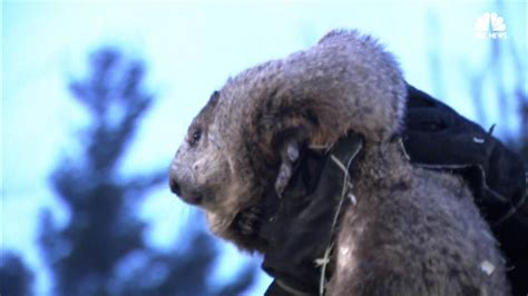 groundhog day america groundhog day spotlights america s favorite weather animal