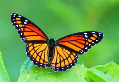 of a butterfly coloring pages butterfly realistic coloring pages