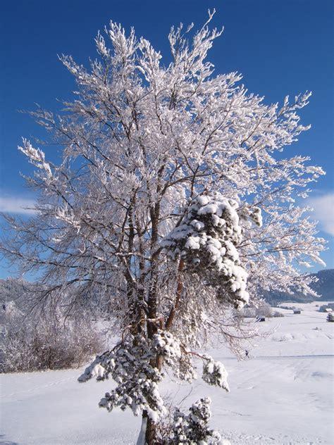 winter trees martens reedsburg true value hardware winter tree