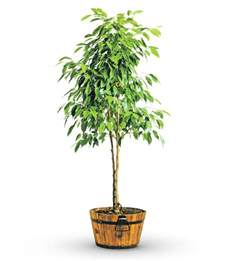 potted trees 28 images green potted ficus tree avas