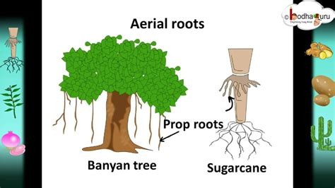Modification Of Root by Scinece Root System And Root Modifications
