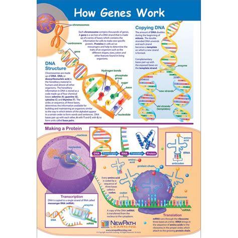 how work how genes work poster