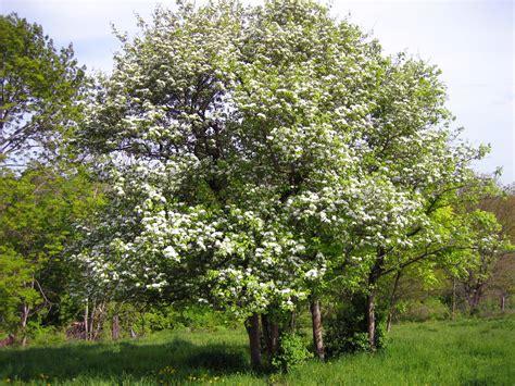 pin hawthorn tree in winter on