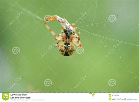 Garden Spider Prey Garden Spider With Prey Royalty Free Stock Photos Image