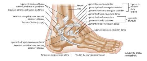 anatomie et physiologie l articulation tibio tarsienne ou cheville est une articulation