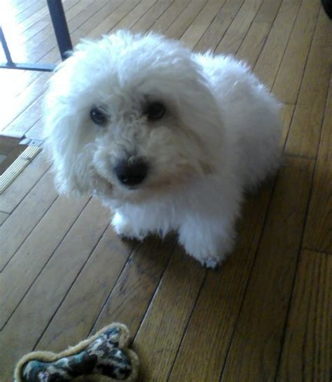 small white non shedding breeds breeds non shedding breeds small white dogs breeds