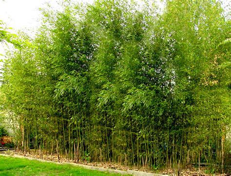 bambou phyllostachys aurea en pot pivoine etc