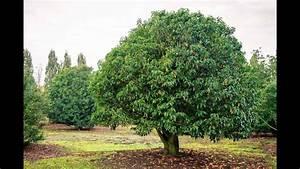 Le laurier-sauce : culture, plantation, taille, entretien ...