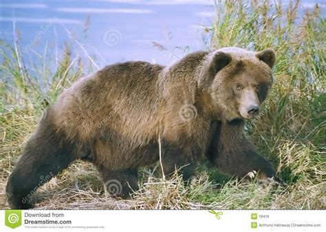 Brown Bear Royalty Free Stock Image  Image 18416