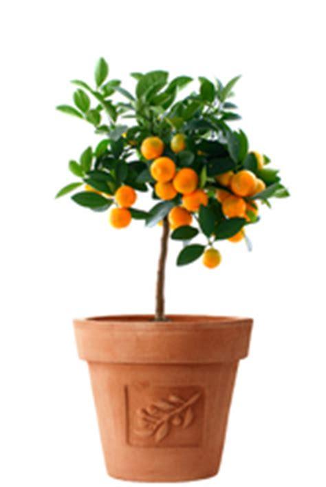 arbre fruitier en pot vari 233 t 233 s et prix des arbres