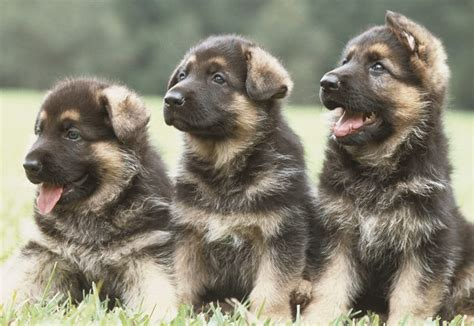 why do german shepherds shed so much hair cuteness