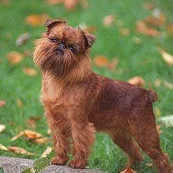 belgian griffon about temperament health
