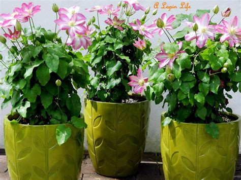a lapin asao clematis vines