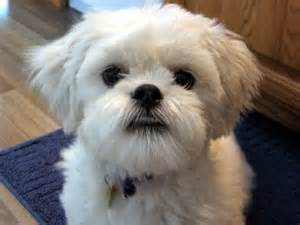 lhasa apso small breed breeds of small dogs best small breeds