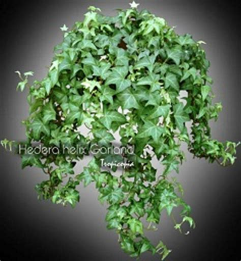 tropicopia en ligne plante d int 233 rieur conseils soins sur l entretien de hedera helix
