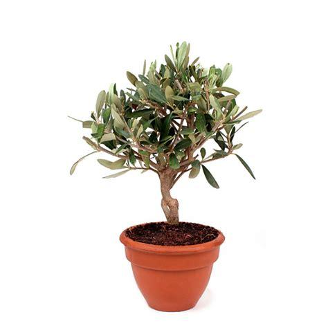 olivier en pot livraison fleurs et cadeaux d lys couleurs