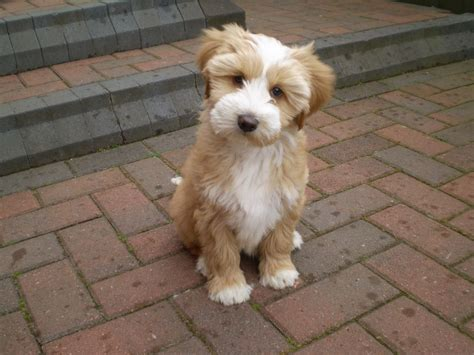 look at how this tibetan terrier is i need one in