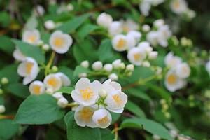 Jasmin Zimmerpflanze Pflege : falscher jasmin schneiden so bringen sie ihn in form ~ Markanthonyermac.com Haus und Dekorationen