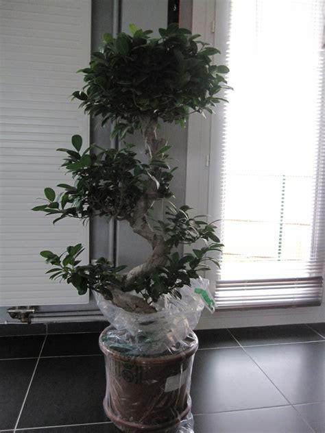 d 233 butant avec un ficus microcarpa ginseng mes premiers bonsai pr 233 sentation et premiers