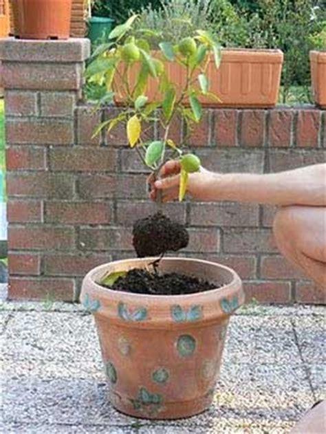 le midi libre magazine planter un citronnier ornemental