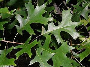The gallery for --> Quercus Robur Fastigiata Leaf
