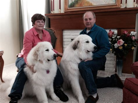 100 great pyrenees shedding information great pyrenees puppies for sale puppies 4 all
