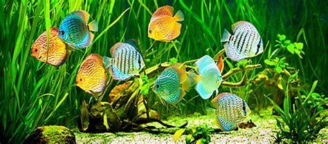 comment avoir de beaux poissons monpoissonexotique aquariophilie poissons et plantes d