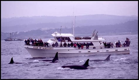 Monterey Whale Watching Boats by Monterey Bay Whale Watch Killer Whale Photo T0108