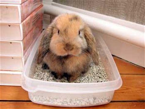 les 3 petits lapins informations et astuces pour les amoureux du lapin nain trois lapins