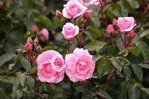 Rosen Kaufen Günstig : diadem und andere rosen kaufen sie g nstig im online shop von rosen ~ Markanthonyermac.com Haus und Dekorationen