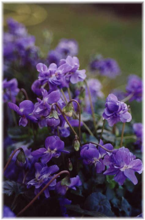 la maison de la violette producteur haute garonne