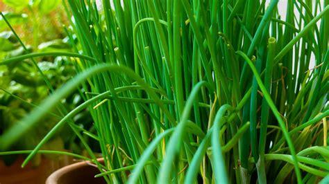 ciboulette allium schoenoprasum et ciboulette sauvage plantation culture entretien
