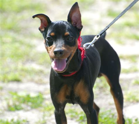 Do Miniature Pinschers Shed by American Rat Pinscher American Rat Terrier And Miniature