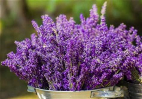 cultiver la lavande en pot bienfaits propri 233 t 233 s posologie effets secondaires