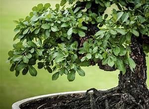 Was Bedeutet Pflegeleicht : bonsai pflegen japanische leidenschaft f r kleines geh lz gartenpflanzen garten ~ Markanthonyermac.com Haus und Dekorationen